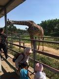 Turisterna matar giraffen på zoo royaltyfri fotografi