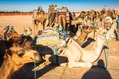 Turisti principali di Beduins sui cammelli al breve giro turistico intorno Fotografia Stock
