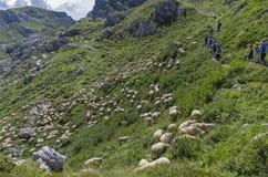 Turisti su una traccia di montagna sopra la moltitudine di pascolo delle pecore Fotografie Stock