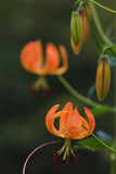 Turk's cap lily Royalty Free Stock Images