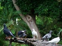 turkawki Fotografia Royalty Free