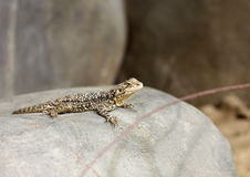 Turkestan Agama Royalty Free Stock Image