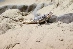 Turkestan rock agama Royalty Free Stock Photo