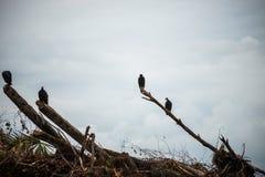 Turket sępy odpoczywa na nieżywych drzewach zdjęcia royalty free