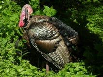 Turkey 1. Wild turkey preening himself Stock Photo