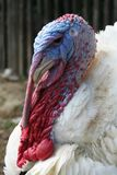 Turkey. Head of a large turkey male Stock Photos