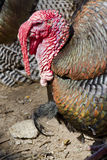 Turkey. The portrait of the turey royalty free stock image