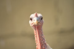 Turkey. Portrait of a beautiful turkey on a blurred background royalty free stock photo