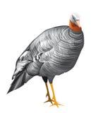 Turkey. Domestic turkey. Vector illustration isolated on white background royalty free illustration