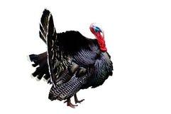 Turkey Royalty Free Stock Photos