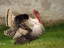 Turkey. Big old turkey in farm Royalty Free Stock Images
