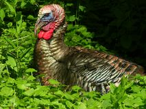 Turkey 2. Wild turkey sitting in a field Royalty Free Stock Photos