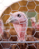 Turkey 2 Royalty Free Stock Photo