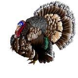 Turkey. Thanks giving turkey - vector illustration Stock Photo
