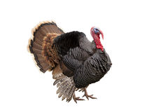Turkey. Isolated on the white background royalty free stock photos