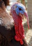 Turkey. Very closeup image of a turkey Royalty Free Stock Photography