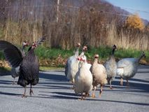 Turkey. Flock of  turkey Stock Images