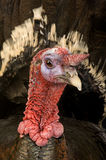 Turkey. From the front Stock Photography