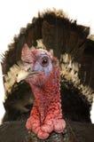 Turkey Royalty Free Stock Image