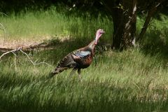 Turkey. A wild tom turkey in an opening in a forest Royalty Free Stock Photography