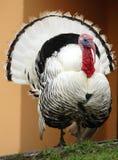 Turkey. Popular domestic meat type of bird Stock Photography