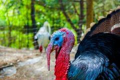 Turkey at afternoon. Fotografia hecha en madrid en primavera Stock Photography