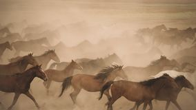 Horses run gallop in dust. Turkey, August 2017: Horses run gallop in dust stock photography