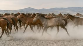 Horses run gallop in dust Royalty Free Stock Photos