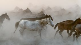 Horses run gallop in dust Royalty Free Stock Images