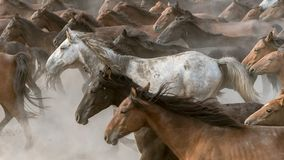 Horses run gallop in dust Royalty Free Stock Image