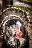 Turkey in Barnyard Stock Images