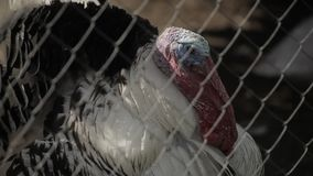 Turkey behind the net. Sunny clear weather stock video footage