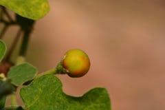 Turkey Berry Fruits on Tree Royalty Free Stock Photos