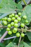 Turkey berry Royalty Free Stock Photo