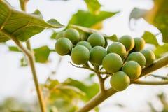 Turkey berry Royalty Free Stock Photos