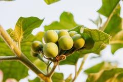 Turkey berry Stock Photography