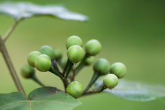Turkey Berry Royalty Free Stock Photography