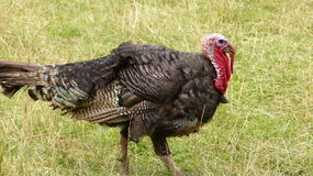 A turkey. In big detail in Central Bohemia Stock Photo