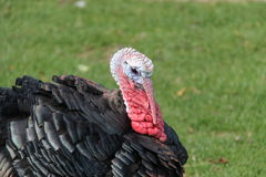 Turkey Bird. Stock Photos