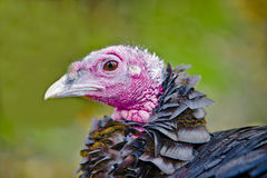 Turkey bird - Close up. Close up of Turkey bird Royalty Free Stock Photo