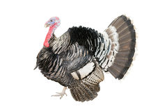 The Turkey bird isolate on white background Stock Images