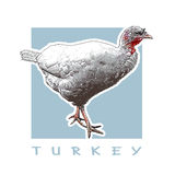 Turkey - Bird, Poultry. Color Illustration. Graphic Illustration of the Poultry Royalty Free Stock Image