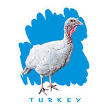 Turkey - Bird, Poultry. Color Image on Blue Background. Graphic Illustration of the Poultry Stock Images