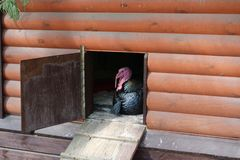 Turkey bird sitting in a wooden house on the farm. For design royalty free stock photography