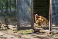 Turkey bird standing in the door opening. A turkey bird standing in the door opening of his cage stock images