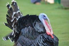 Turkey bird Stock Images