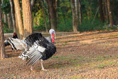 Turkey bird walk in the morning bright Royalty Free Stock Photo
