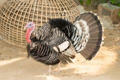 The turkey bird - Wild turkey walking outdoors Stock Photos