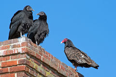 Turkey and Black Vultures Stock Photography