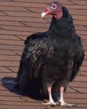 Turkey Buzzard Stock Photo
